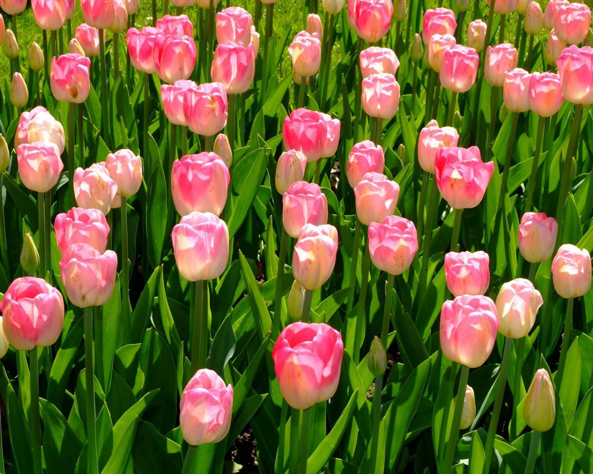La signification des couleurs des roses f noweb - Signification rose rose ...