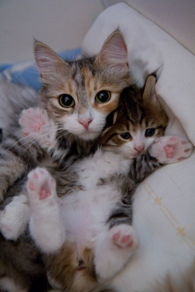 Découvrez toutes l\u0027attention des parents pour caliner, protéger ou  surveiller leurs chatons, tandis que c\u0027est dernier imitent les faits et  geste de papa