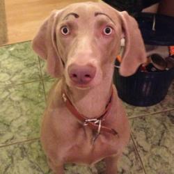 Dessiner des sourcils à son chien pour le rendre plus humain