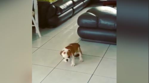 Un chiot laisse un cadeau à son maître