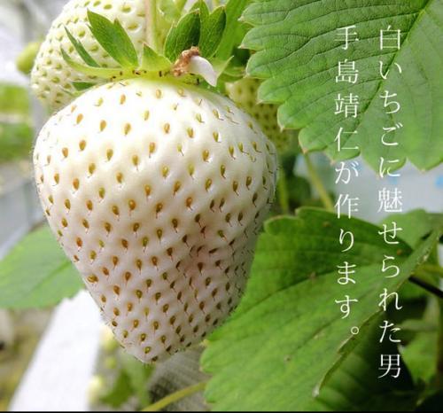Les fraises blanches qui font un carton au Japon